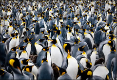 011-King Penguin Rookery