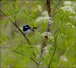 006 Superb Fairy Wren